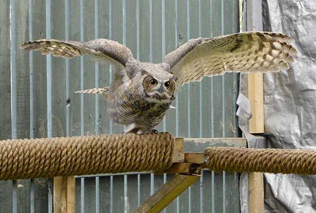 Stretching its wings: A great horned owl launches itself from a perch. (Photo by Wyatt Tremblay/The Press)