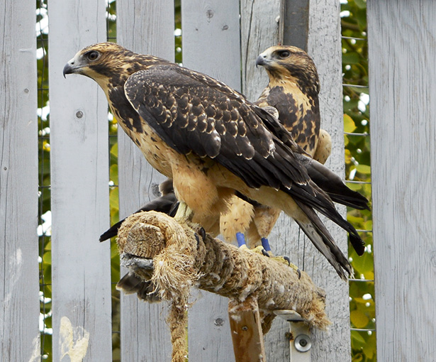 Eyes on the sky: These Swainson's hawks are almost ready to be released into the wild. (Photo by Wyatt Tremblay/The Press)
