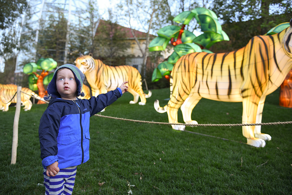 Big Tigers: Ezra Knamles reacts to the tiger lanterns during the Calgary Zoo's Illuminasia event on Thursday, Sept. 17, 2015. The event features over 300 wire and mesh lanterns that will be on display through November 1st. (Photo by Tyler Marr/The Press)