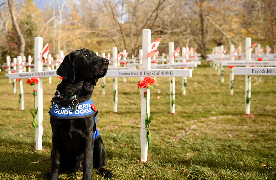Standing Guard: Currie is a guide dog in training and was out exploring the Field of Crosses along Memorial Drive on Sunday, Nov. 1, 2015. Each cross is inscribed with the name, rank, regiment, date of death and age at death of a Southern Alberta soldier killed in action. (Photo by Tyler Marr/The Press)